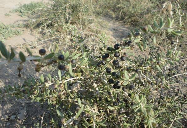 schwarze Goji Beeren, Wildwuchs, Rückstandskontrolliert, Rohkostqualität, China
